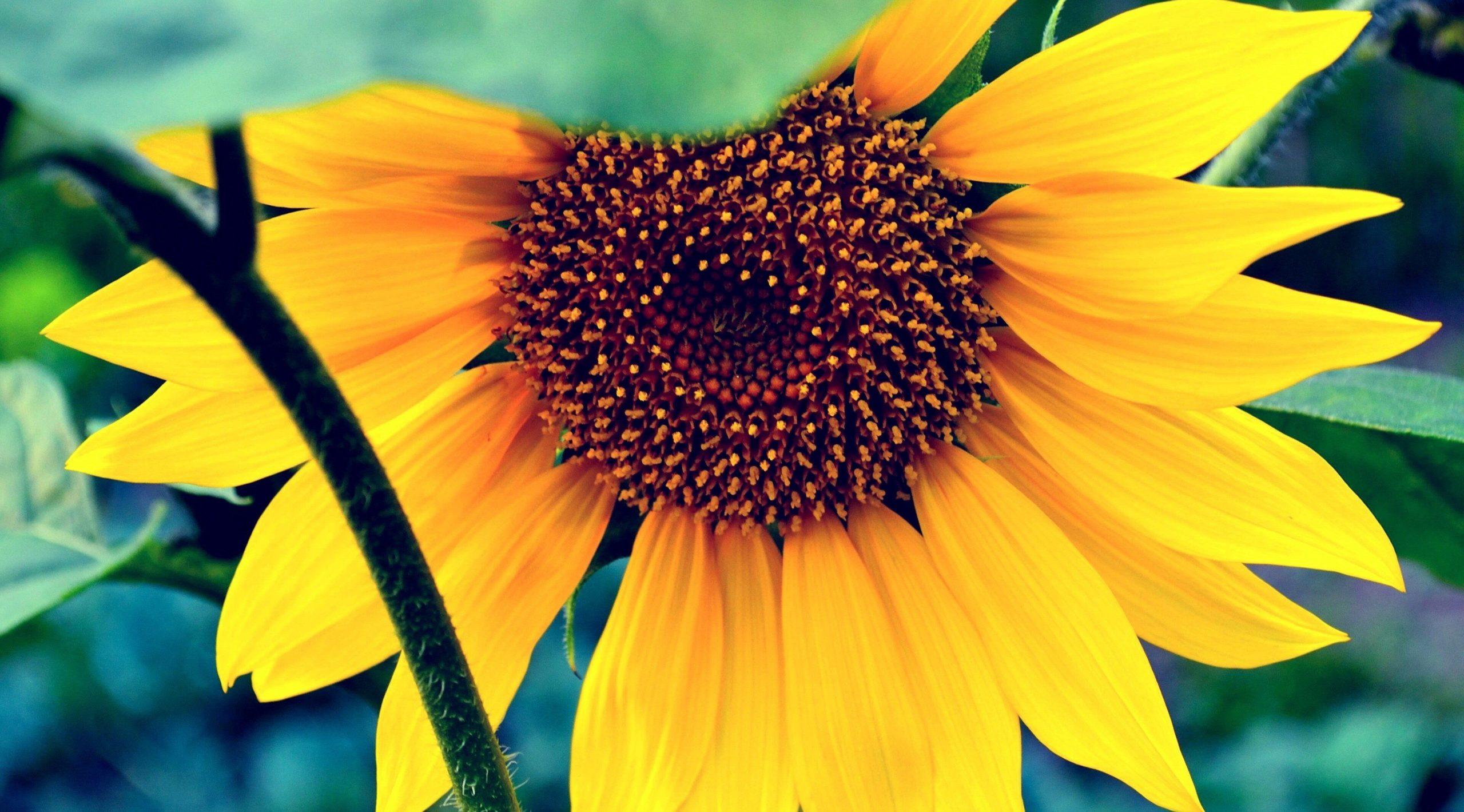 Ảnh nền hoa hướng dương sắc nét