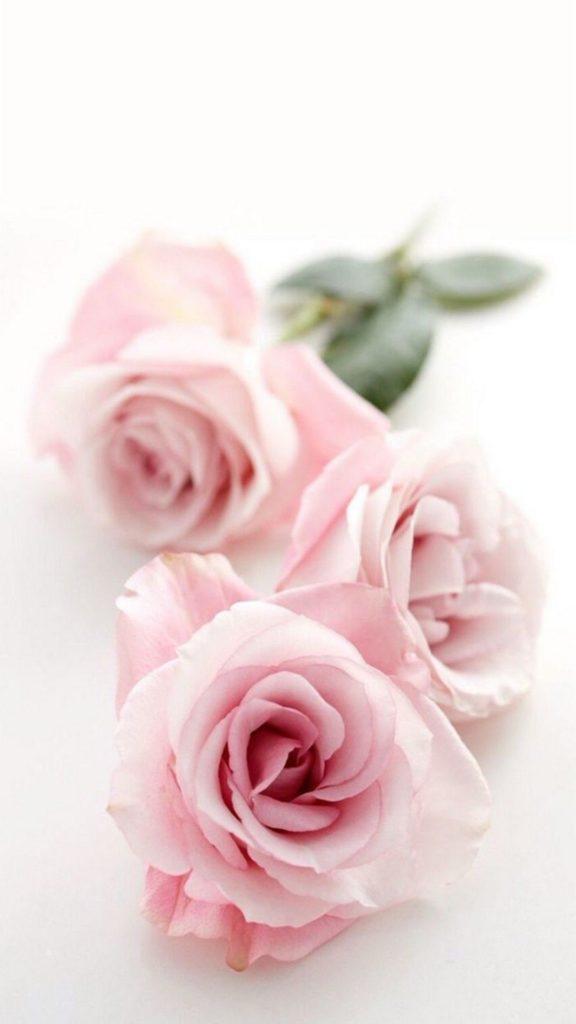 Hình nền Hoa hồng
