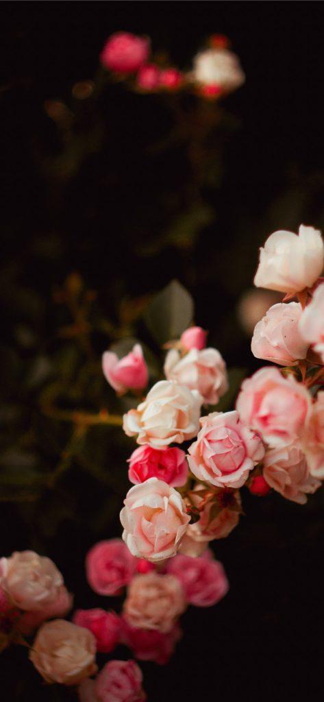 Nền hoa hồng tuyệt đẹp cho điện thoại iPhone