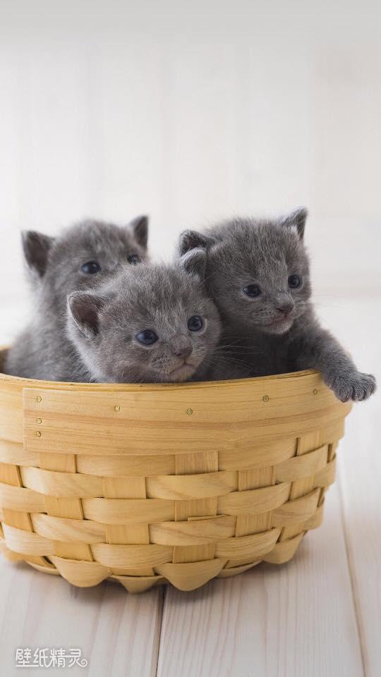 hình nền 3 chú mèo con