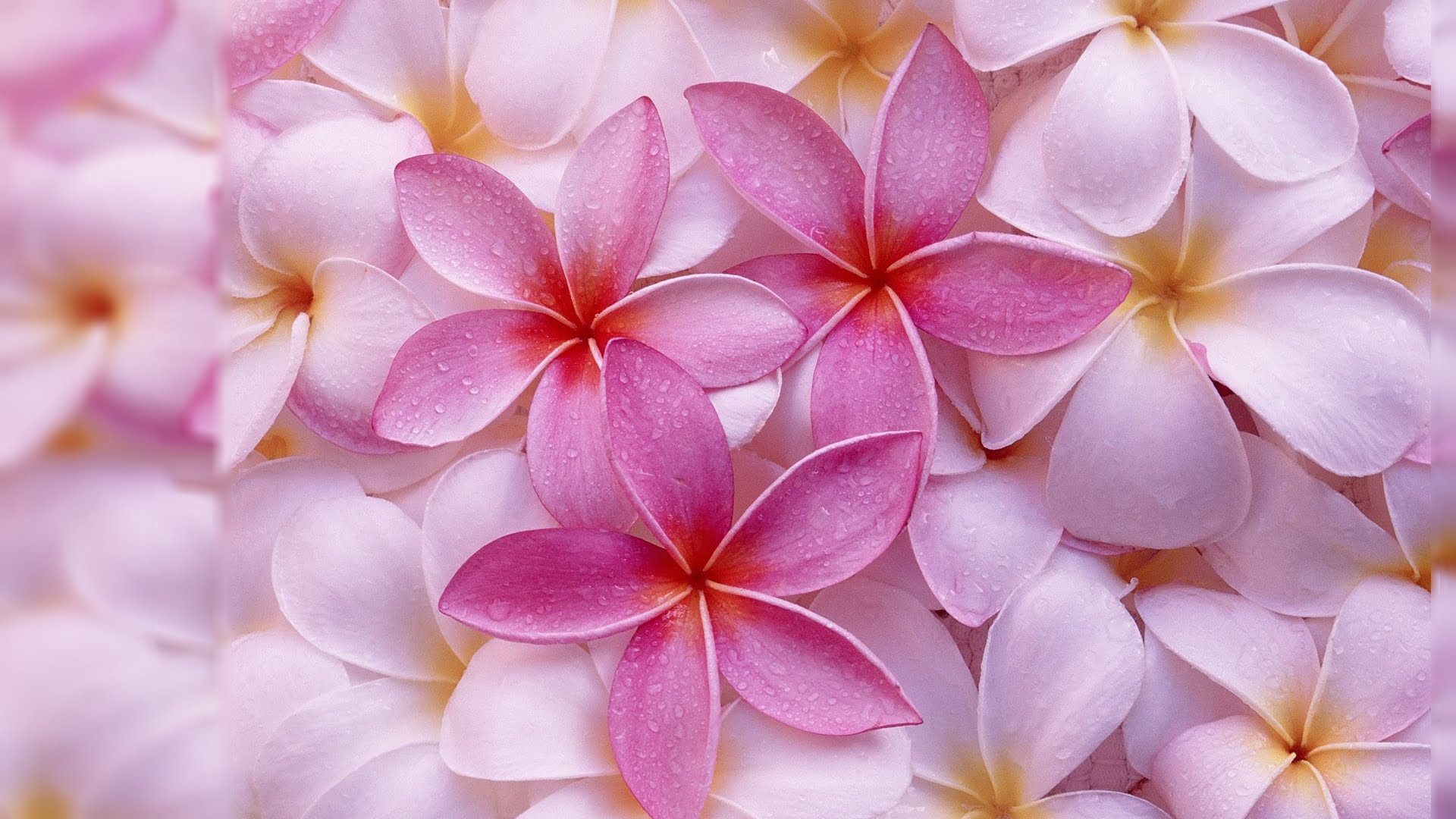 hình nền hoa sứ