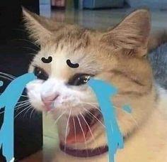 Ảnh chế mèo khóc