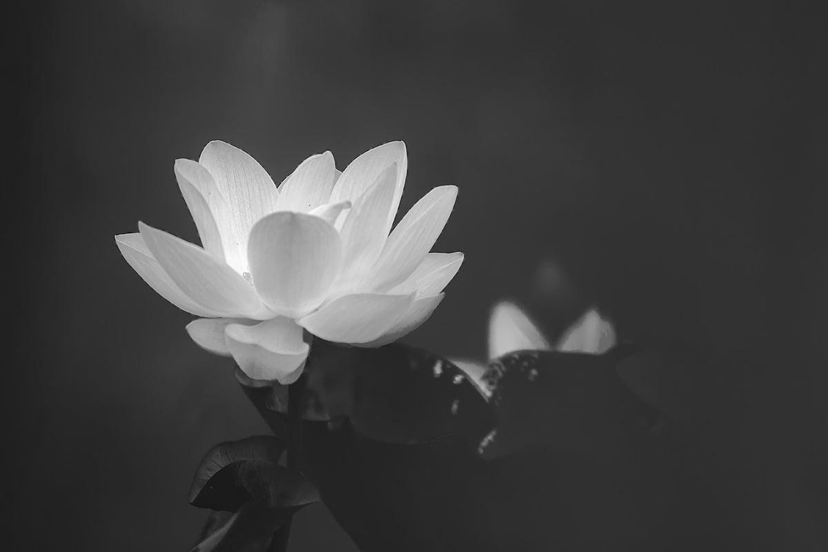 Hình hoa sen trắng đen