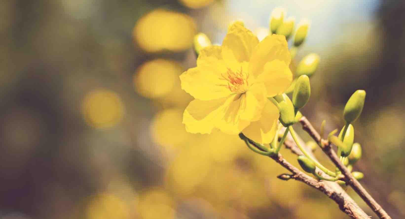 Hình nền hoa mai mùa xuân