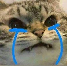 Mèo khóc cute nhất