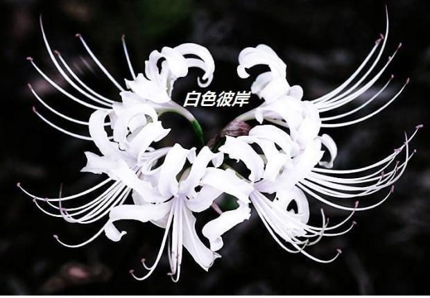 Ảnh hoa bỉ ngạn trắng đen tuyệt đẹp