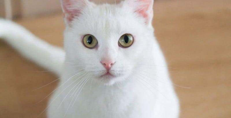 Chú mèo trắng bao ngầu