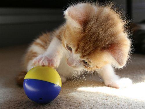 Hình ảnh mèo chơi cùng quả bóng