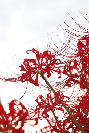 Hình nền điện thoại dành cho những người yêu thích loài hoa bỉ ngạn