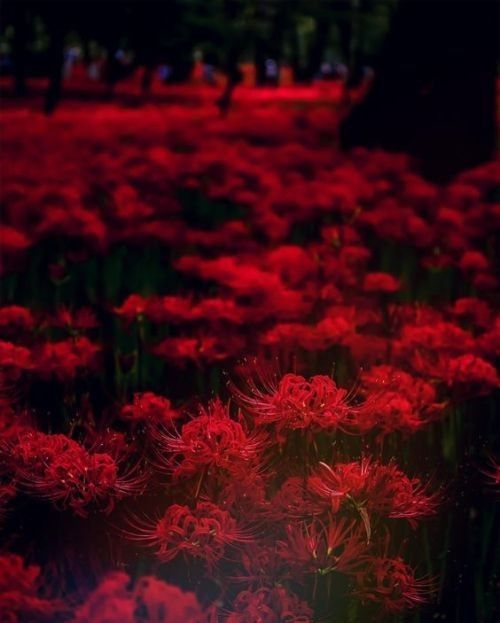 Nhuộm đỏ cánh rừng với màu đỏ của bỉ ngạn