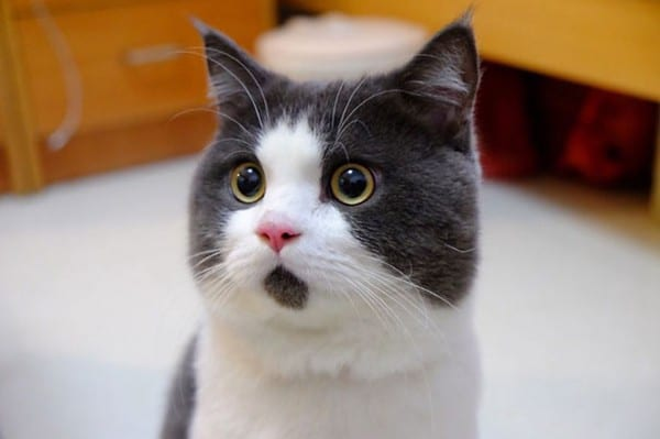 Vẻ mặt ngạc nhiên của mèo boss