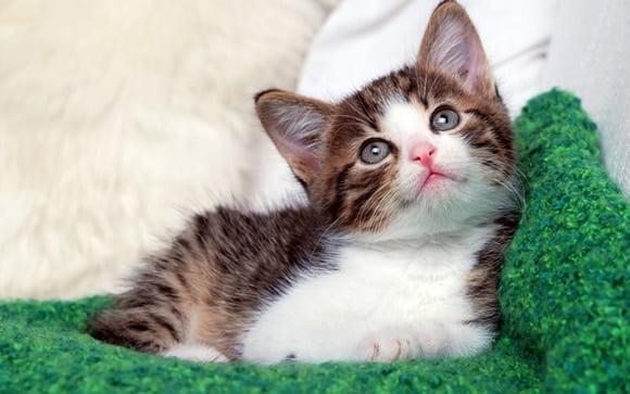 Vẻ mặt ngây thơ của chú mèo