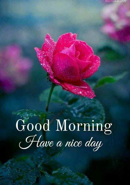 Bông hoa hồng đón chào ngày mới