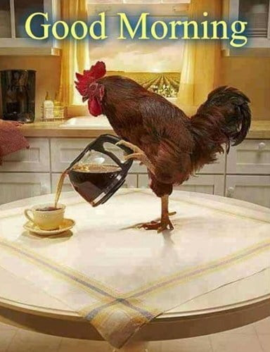 Cười nghiêng ngả với hình ảnh chú gà trống chào ngày mới cực hài hước