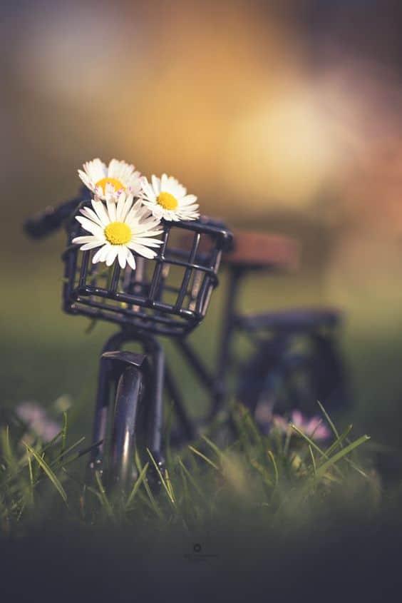 Hoa cúc họa mi cho ngày mới thêm đáng yêu