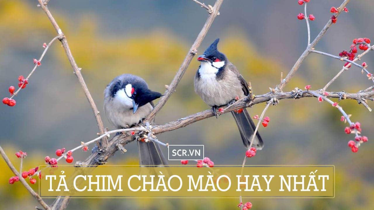 tả chim chào mào